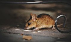 Как не заразиться «мышиными болезнями» на даче