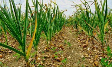 Советы садоводов: чтобы чеснок не желтел, и как выращивать чёрную редьку