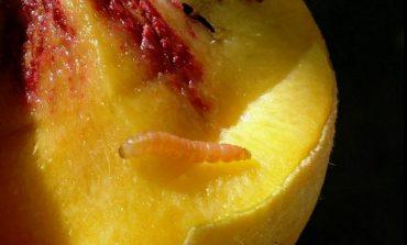 Опасный вредитель - персиковая плодожорка