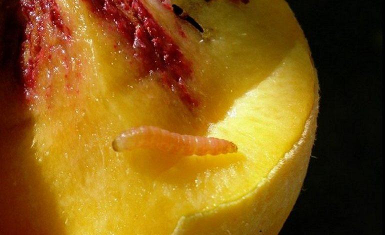 Опасный вредитель – персиковая плодожорка