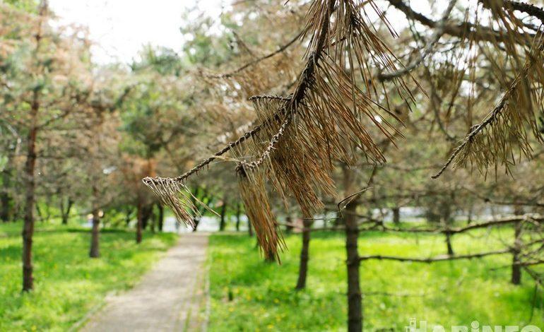 В парке «Динамо» спилят несколько десятков сосен