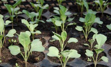 Почему рассада капусты вянет и другие вопросы дачников