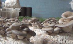 Олег Федорович: выращивание грибов в домашних условиях