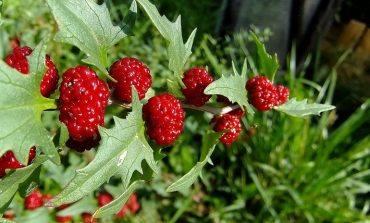 Шпинат-малина - новое растение на вашем огороде