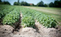 Константин Скорик: как собрать достойный урожай картофеля