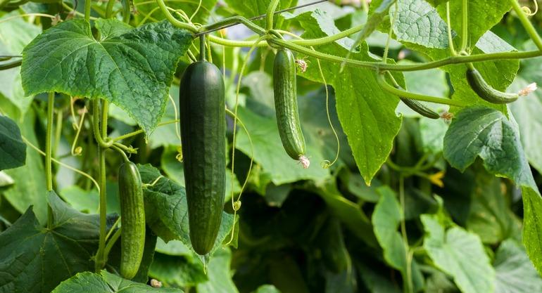 Семена огурцов: как собрать