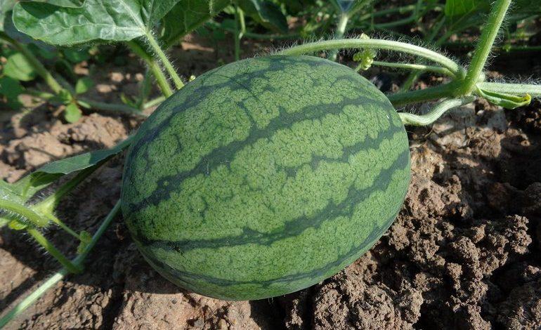 Полосатая радость: можно ли вырастить арбуз в Хабаровске?