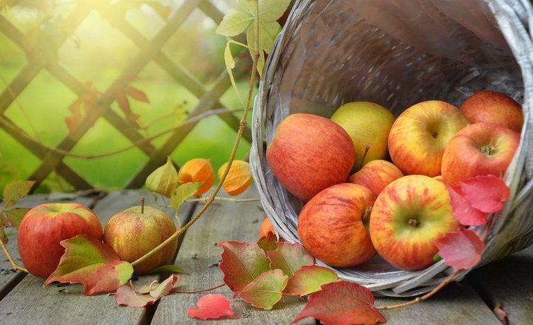 Яблочный спас: собираем урожай