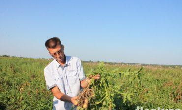 С мечтами о недорогой картошке: местные фермеры бьются за урожай