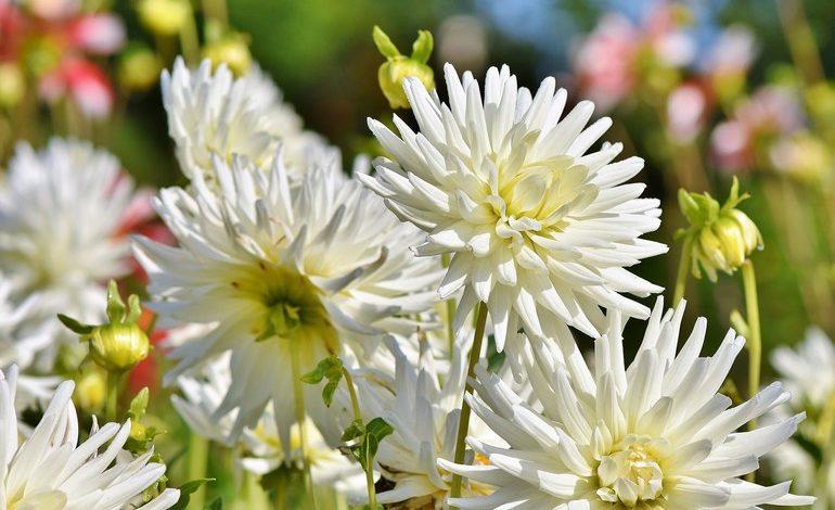 Многолетние цветы: уход осенью