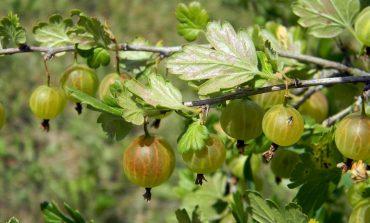 Объедены листья крыжовника: кто ест, что делать, как бороться