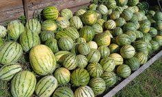 Кто выращивает арбузы в Хабаровском районе