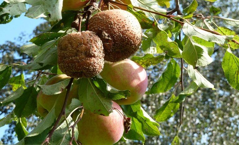 Почему яблоки гниют прямо на дереве: как спасти урожай