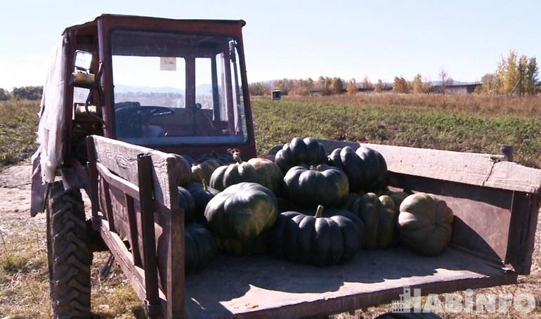 Картошки мало, догонимся тыквой: хабаровские аграрии собирают урожай