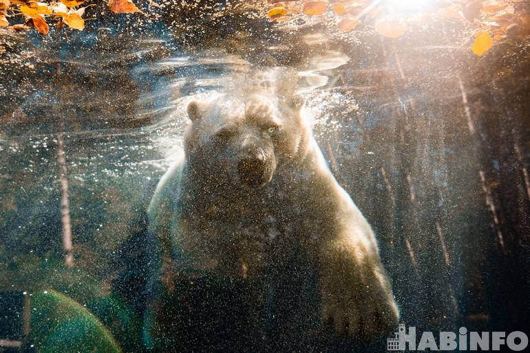 В Приамурском зоосаде новый белый медведь. Он – классный!