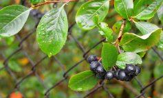 Чем полезна арония черноплодная?
