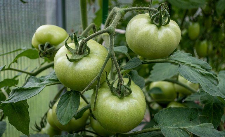 Что делать если помидоры недозрели?