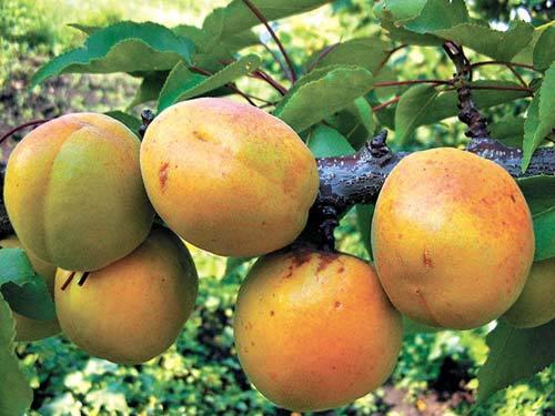 Сорт Хабаровский - один из лучших дальневосточных абрикосов