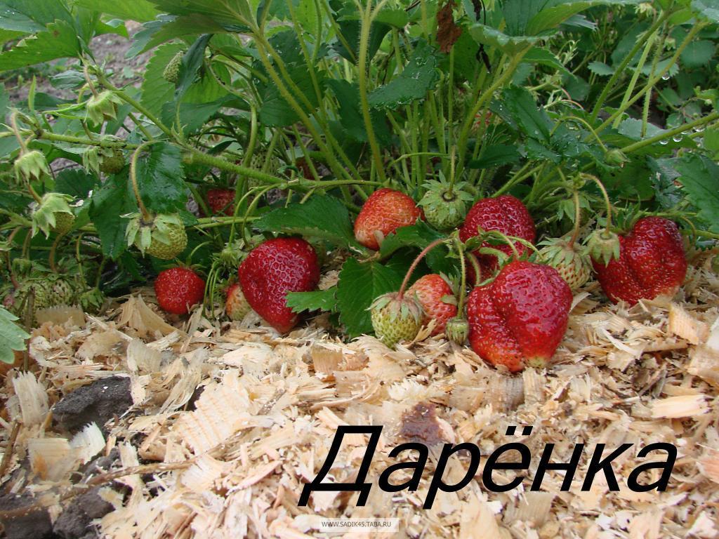 Универсальный сорт клубники Даренка