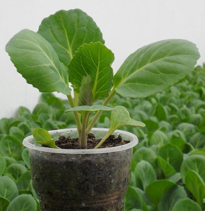 Хорошая рассада - успешный урожай