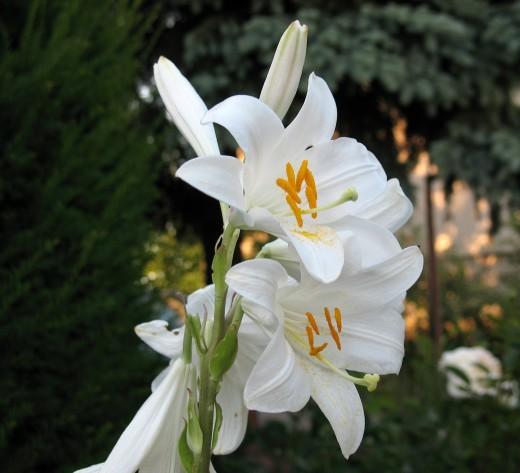 Лилия белоснежная гибрид - Кандидум гибрид