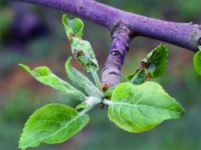 Если на ваших деревьях вы видите загнутые или скрученные в трубочку и стянутые пау-тиной листья, то вы можете не сомневаться, что имеете дело с листоверткой.
