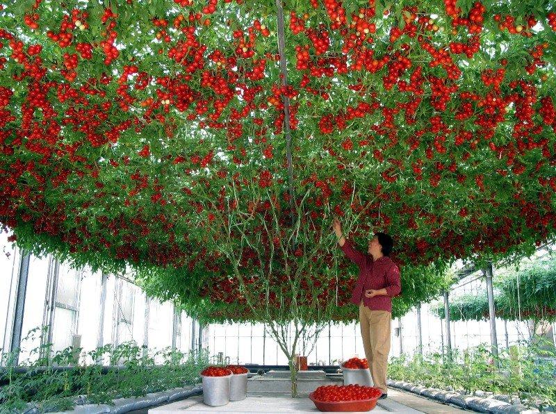 Томатное дерево: выращивание в открытом грунте, в домашних 60
