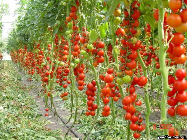 Томатное дерево: выращивание в открытом грунте, в домашних 752