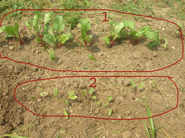 Сравнительный опыт выращивания рассады свеклы на своем участке: 1. С применением биогумуса 2. Обычное выращивание