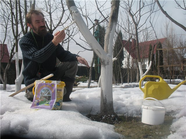 Чтобы избежать солнечных ожогов, еще до начала таяния снега в теплый солнечный день проводят побелку штамбов. Кроны деревьев при этом опрыскивают известковым раствором (1 кг извести на 10 л воды), чтобы сохранить цветочные почки.