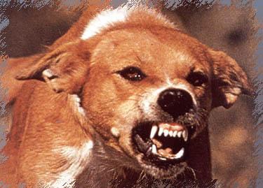 При буйной форме бешенства собаки проявляют агрессию и не узнают своих хозяев