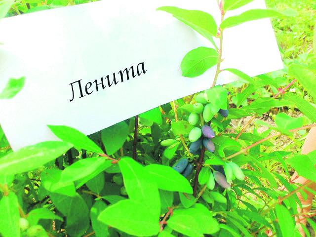 как вырастить жимолость на садовом участке