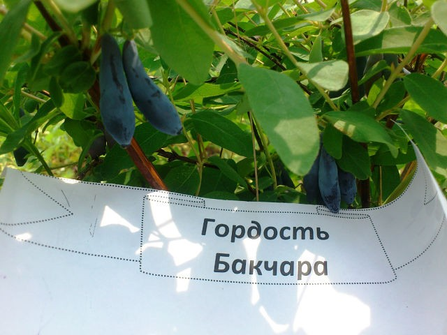 как выращивать жимолость на даче