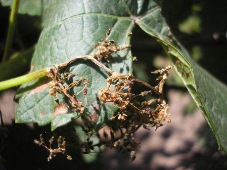 При благоприятных для развития милдью условиях соцветия или молодые грозди гибнут почти полностью.