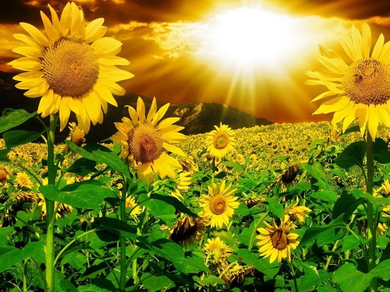 С какой стороны ни глянь, лучше подсолнечника нет культуры - это и масло, и мед, и лекарство, и семечки, и цветы.