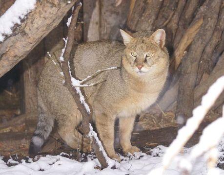 В Хабаровске сбежала краснокнижная камышовая кошка, привезенная из Казахстана