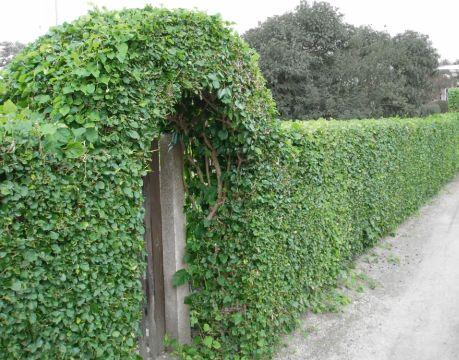 Живая изгородь - хорошая защита вашего участка