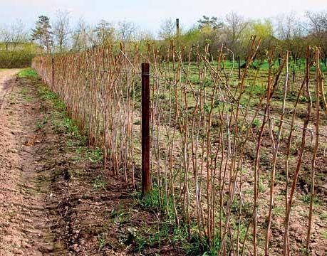 Сделать зеленый забор под силу каждому