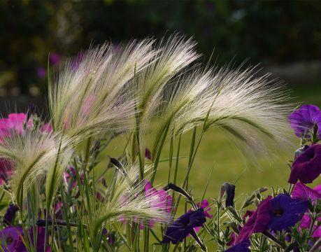 ковыль злак травам декоративной