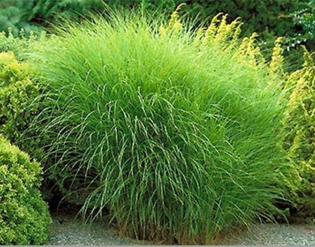 декоративные злаки и травы в ландшафтном дизайне мискантус