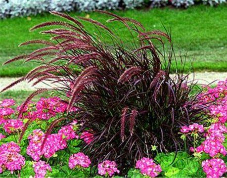 пеннисетум дизайн трава декоративная ландшафтные