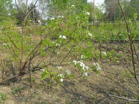 Западные груши в местных условиях лучше всего выращивать в кустовой форме