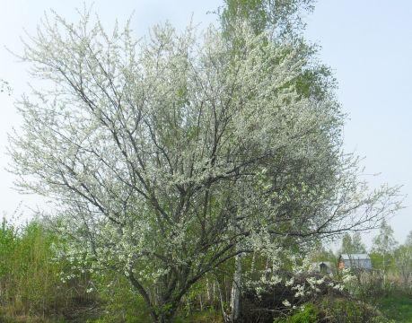 Айва приморская декоративна в течение всего сезона. Весной дерево украшают белые благоухающие цветы, летом - обилие плодов, осенью – яркая декоративная листва