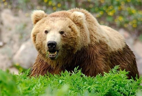 Вы не сможете убежать от медведя. Было установлено, что они бегают со скоростью около 60 км/ч, и, как собаки, они будут преследовать убегающее животное. Если медведь подошел слишком близко, повысьте свой голос и станьте более агрессивными. Стучите в кастрюли, сковородки. Используйте громкие инструменты. Никогда не имитируйте рычание медведя и не кричите пронзительно.