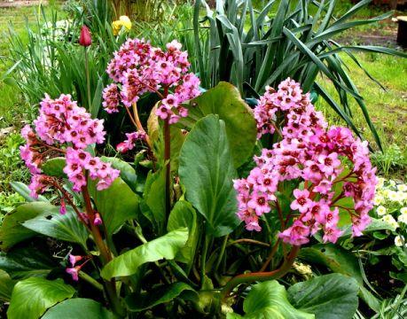 Бадан не только красивое, но и полезное растение