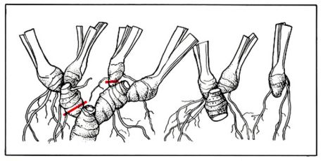 Размножение бородатого ириса: слева корневище, извлеченное из почвы, справа - подготовленные к посадке звенья корневищ
