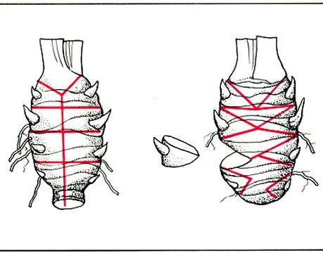 Разделка годичного звена корневища на почковые черенки