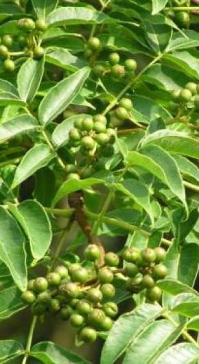Бархат амурский дает и съедобные ягоды