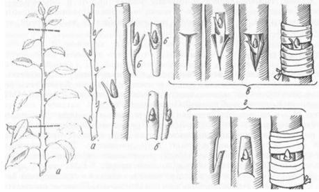 а - подготовка черенков б - срезка щитка с почкой в - Т-образный способ окулировки г - окулировка вприклад