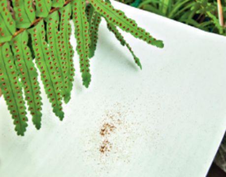 Папоротник легко размножается спорами, которые лучше высевать ранней весной. Оптимальная почва для посадки – смесь лесной плодородной земли и торфа